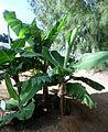 Musa acuminata kz1.JPG