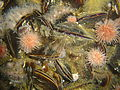 Mussels, urchins and strawberry anemones on the Fleur DSC00542.jpg