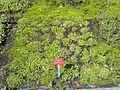 Myosotis rehsteineri - Botanischer Garten, Frankfurt am Main - DSC02713.JPG