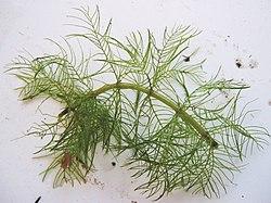 Myriophyllum verticillatum.jpeg