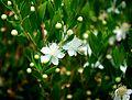 Myrtus communis Common Myrtle მვორსინი.JPG