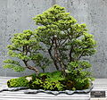 NCArboretum Bonsai-27527-2.jpg