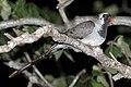 Namaqua dove (Oena capensis aliena) male perched at night.jpg