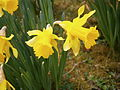 Narcissus hispanicus close-up01.jpg