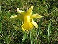 Narcissus pseudonarcissus closeup.jpg