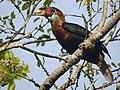 Narcondam Hornbill DSCN2147 12.jpg