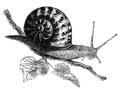 Natural History - Mollusca - Garden Snail.png