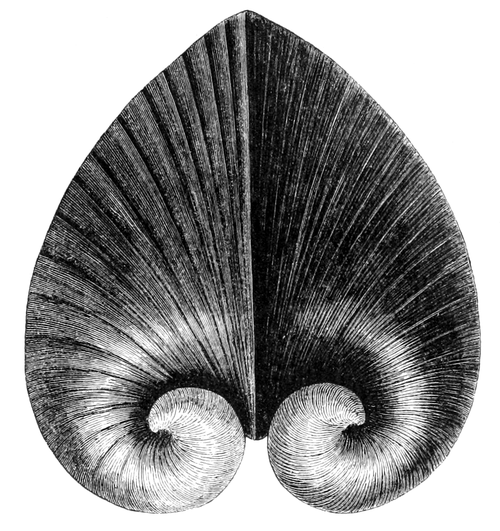 Natural History - Mollusca - Heart-shell.png