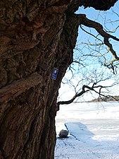 Naturminnesskyddade träd i Görvälns naturreservat 03.jpg