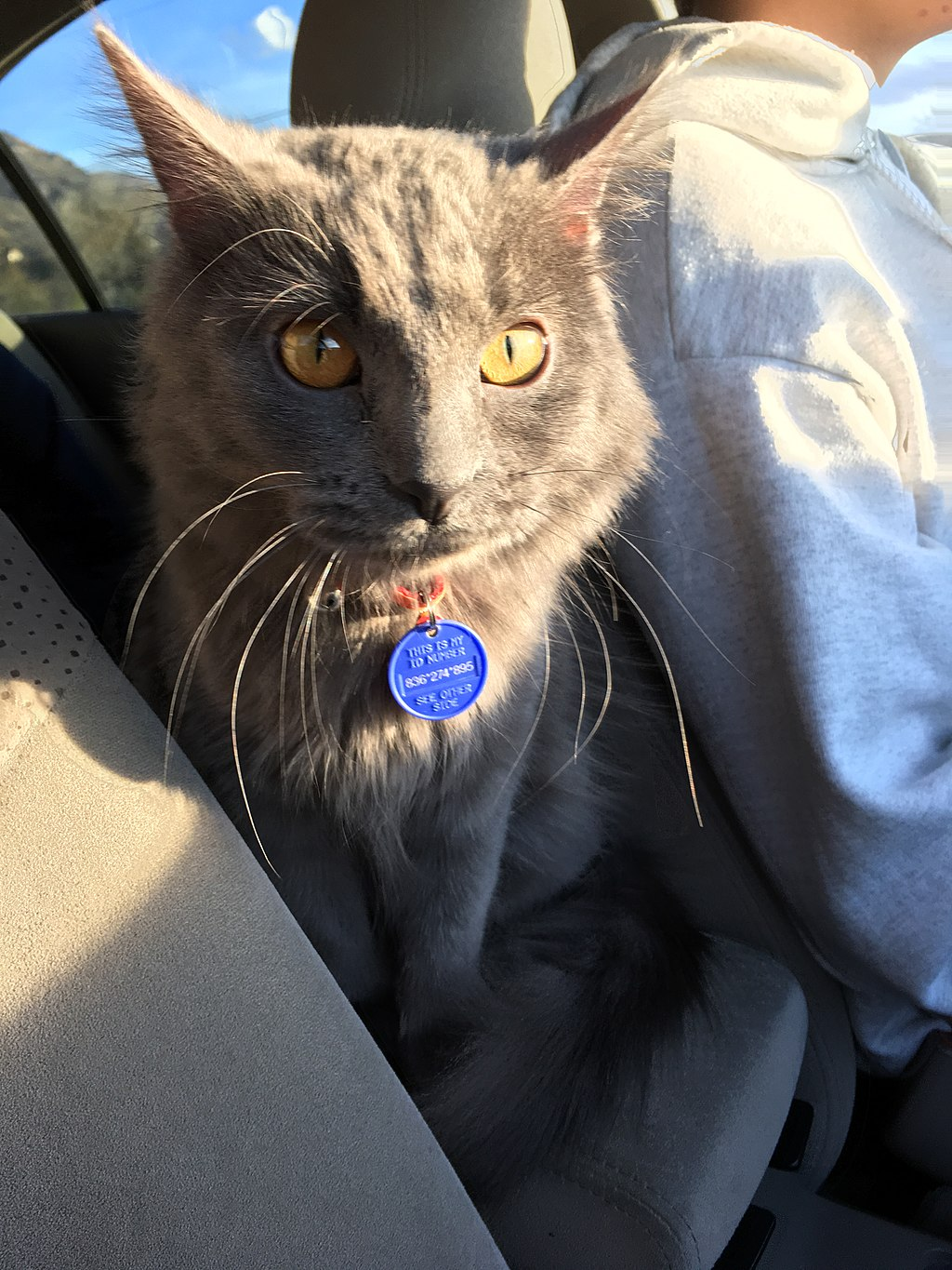 Nebelung Cat in Car