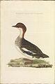 Nederlandsche vogelen (KB) - Mergellus albellus (296b).jpg