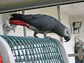 Nelson the African Grey Parrot (17240777316).jpg