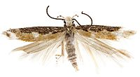 Neopalpa donaldtrumpi adult male, Imperial County, California.jpg