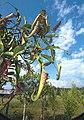 Nep stenophylla.jpg