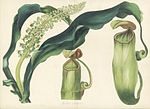 Nepenthes distillatoria Paxton's Magazine of Botany.jpg