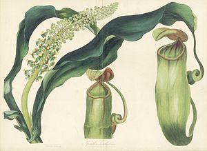 Nepenthes distillatoria - Image: Nepenthes distillatoria Paxton's Magazine of Botany