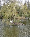 Nesting swans, Walkington pond - geograph.org.uk - 1772909.jpg