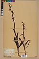 Neuchâtel Herbarium - Ophrys sphegodes - NEU000047881.jpg