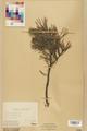Neuchâtel Herbarium - Pinus sylvestris - NEU000003772.tif