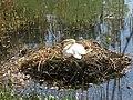 Nid de cygnes sur le lac supérieur du bois de Boulogne.jpg