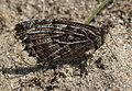 Noordwijk - Heivlinder (Hipparchia semele) v4.jpg