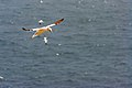 Northern Gannets St Mary Cape Newfoundland (40650827024).jpg