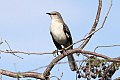 Northern Mockingbird (Mimus polyglottos) (8082760250).jpg