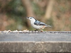 Nuthatch in Prospect Park (20267).jpg