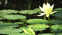 Nymphaea mexicana (1)