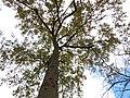 Oak (31120169782).jpg