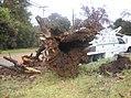 Oak Mortality 1 (4688950261).jpg