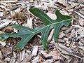 Oak leaf P8190046.jpg