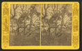 Oaks and palmetos, Fort George, Florida, from Robert N. Dennis collection of stereoscopic views.png