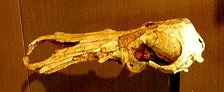 <i>Obdurodon dicksoni</i> species of mammal