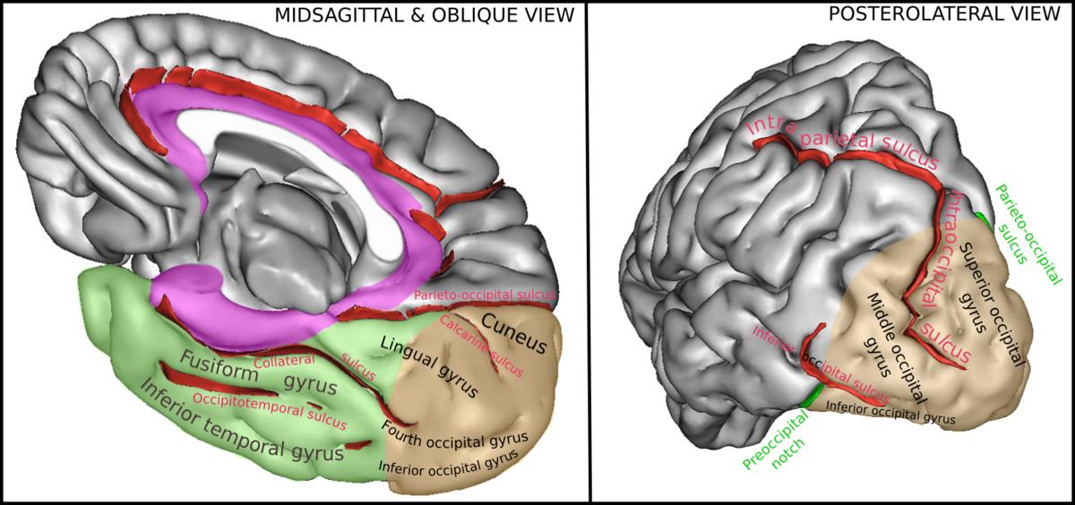Occipital Gyri