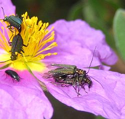 Oedemera flavipes sex.JPG