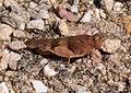 Oedipoda caerulescens qtl2.jpg
