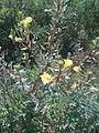 Oenothera, la haute touffe côté est de la maison. (4870625124).jpg