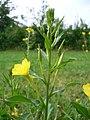 Oenothera biennis 20050825 945.jpg