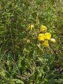 Oenothera erythrosepala01.jpg