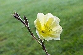 Oenothera stricta (d.j.b.) 02.jpg