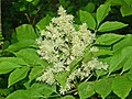 Oleaceae - Fraxinus ornus-1 (8304697874).jpg