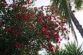 Oleander 17 2013-07-10.jpg