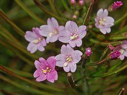 Onagraceae - Epilobium parviflorum-2.JPG