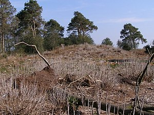 Puddletown - One of the prehistoric 'Rainbarrows' on Duddle Heath in the southwest of the parish