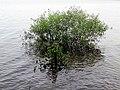 One tree Parkers Creek Jordan Lake NC SP 3753 (36009084061).jpg