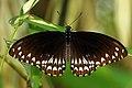 Open wing position of Papilio clytia, Form Clytia, Linnaeus, 1758 – Common Mime (Form clytia) WLB.jpg