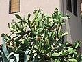 Opuntia ficus-indica in Monterosso al Mare.jpg
