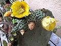 Opuntia ficus indica 2.jpg