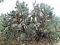 Opuntia leucotricha (5757324015).jpg